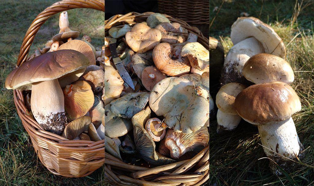 setas comestibles-sirem wild-boletus-micologia-bosque-niscalos-robellones