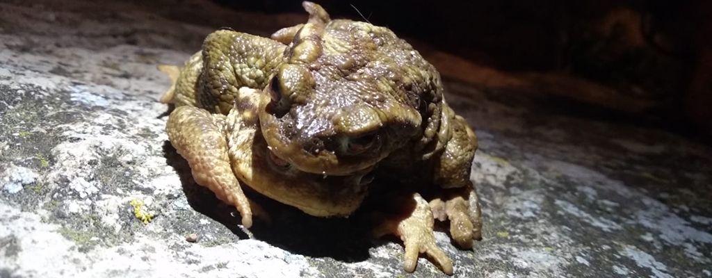 Día Mundial del Medio Ambiente-anfibios-sapos comunes-Bufo spinosus