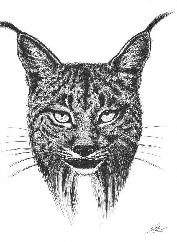 dibujo lince iberico-sirem wild