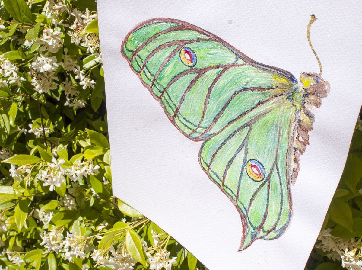 dibujo acuarela mariposa graellsia isabellae-sirem wild