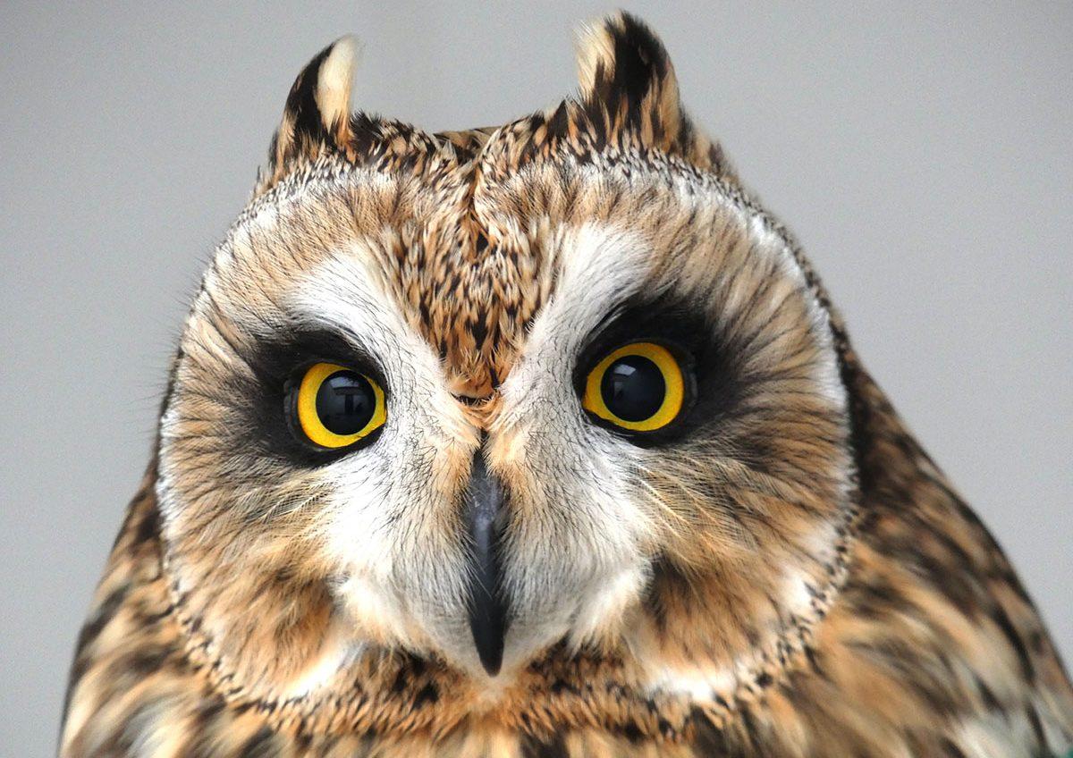 LECHUZA CAMPESTRE-amus-sirem wild-aves