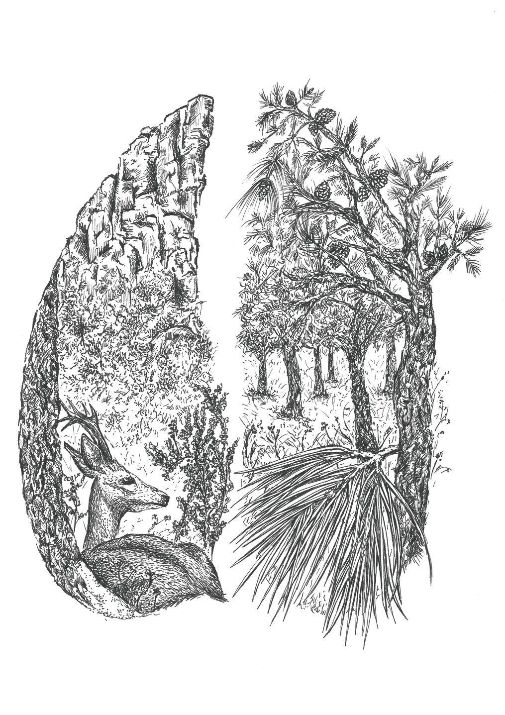 dibujo Corzo ilustracion-sirem wild