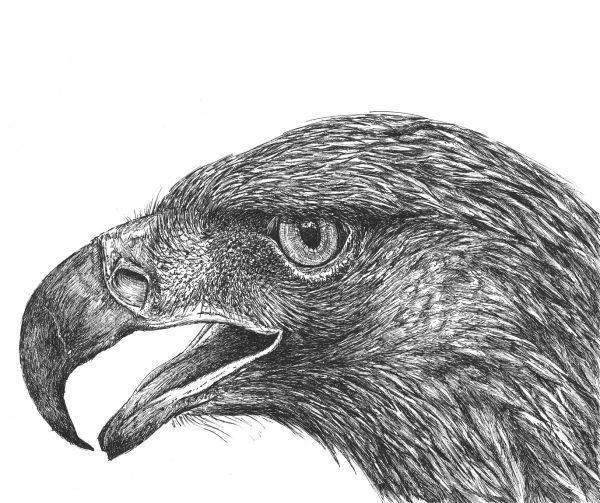 dibujo aguila ilustracion boligrafo-sirem wild