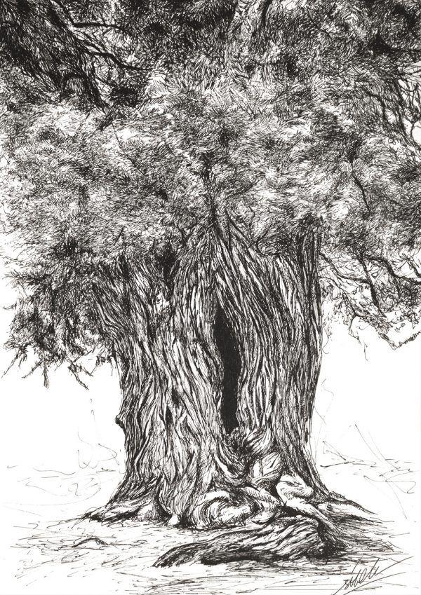 dibujo arbol Sabina Gorda boligrafo-sirem wild