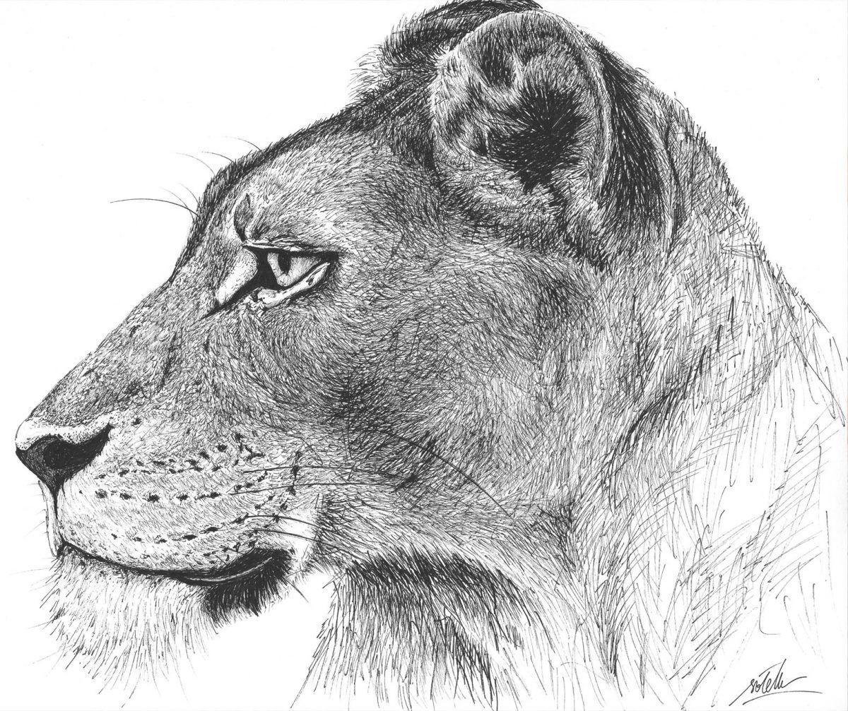 dibujo leona boligrafo-sirem wild
